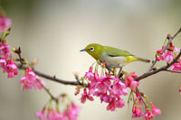 Japanese white-eye perching
