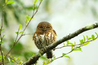 Collared pigmy owlet perching