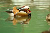 Male mandarin duck floating on water