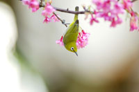 Japanese white-eye standing reverse