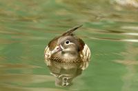 Female mandarin duck floating on water