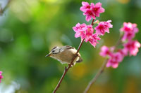 Formosan Yuhina standing on tree branch