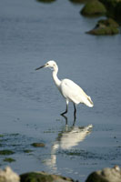 Little egret wading in water