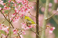 Japanese white-eye in tree