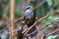 Streak-breasted scimitar-babbler on twig