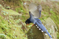 Formosan magpie on rock