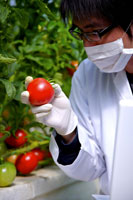 Scientist inspecting tomato