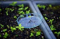 Seedling in petri dish in greenhouse