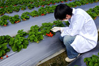 Researcher examining strawberry plant