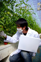 Researcher examining tomatoes