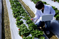 Researcher examining strawberry field