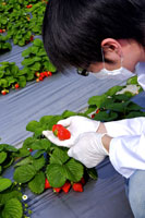 Researcher examining strawberry