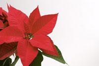Poinsettia 11010040606  写真素材・ストックフォト・画像・イラスト素材 アマナイメージズ
