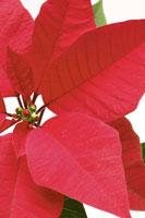 Poinsettia 11010040640  写真素材・ストックフォト・画像・イラスト素材 アマナイメージズ