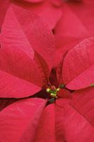 Poinsettia 11010040658  写真素材・ストックフォト・画像・イラスト素材 アマナイメージズ