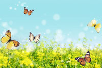 Butterflies flying over field
