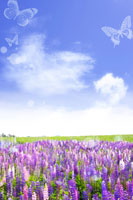 Butterflies flying over lavender field