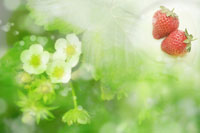 Plant and two strawberries