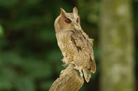 Eurasian Scops Owl perched on stump