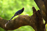 Formosan Magpie perching on tree