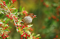 Bird perching with berry in its beak