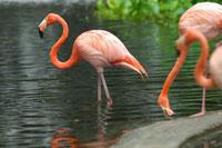 Ereater Flamingos, Cranes