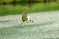 Black-Crowned Night-Heron flying