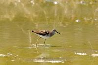 Bird wading in water