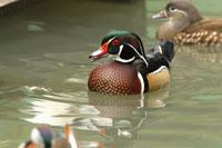 Mandarin Ducks floating on water