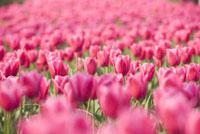 Close-up of tulip flower field