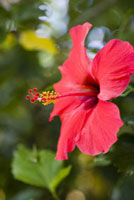 Close-up of a red hibiscus