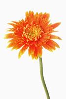 Gerbera Daisy,Flower