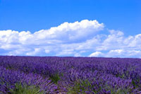 Lavender Field at France
