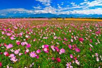 Flower Field in Taiwan