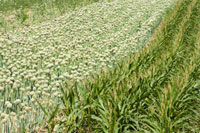 Onion Flower and Corn Field in France