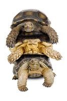 Burmese Mountain Tortoise,Sulcata Tortoise,Aldabra Tort