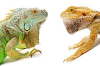 Pogona Barbata,Lizard