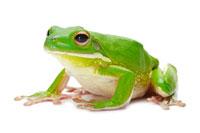 Litora Infrafrenata,Frog