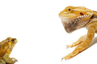 Pogona Barbata,Bufo Melanostictus,Lizard