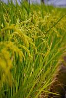 Rice Paddy in Dounan Township,Yunlin,Taiwan