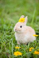 Rabbit in field 11010044721  写真素材・ストックフォト・画像・イラスト素材 アマナイメージズ