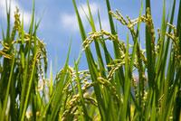 Rice ears,rice field