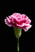Pink carnation on black background,close-up 11010044921| 写真素材・ストックフォト・画像・イラスト素材|アマナイメージズ