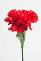 Red carnation on white background,close-up 11010044922| 写真素材・ストックフォト・画像・イラスト素材|アマナイメージズ