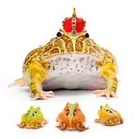 Ornate Horned frog,Ceratophrys cornuta,Cranwell's Horned