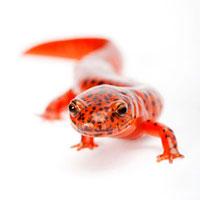 Salamander�CPseudotriton Ruber�C