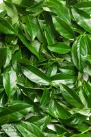 Tea, Chinese Tea, 11010045032| 写真素材・ストックフォト・画像・イラスト素材|アマナイメージズ
