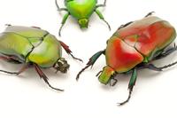 Scarab Beetle, Beetle, Insect, Coleoptera 11010045160| 写真素材・ストックフォト・画像・イラスト素材|アマナイメージズ
