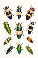 Jewel Beetle, Beetle, Insect, Coleoptera