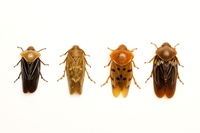 Cicada, Beetle, Insect, Coleoptera